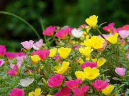 Wholesale 100 Mixed Color Moss rose Purslane Seeds Portulaca grandiflora heat tolerant easy growing big beautiful flower SS122