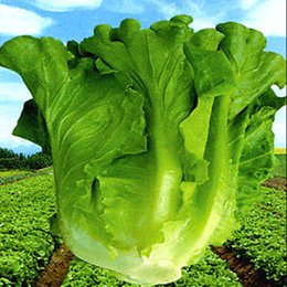 Wholesale 520 Potted Large Lettuce Seeds Big Green Environment Farm seeds indoor and outdoor potted plants purify the air mixing colors
