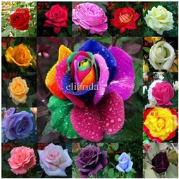 Wholesale 30 OFF pieces Colors Rose Seeds Rainbow Rose Seeds OWNER JUST WANTED TO WIN GOOD REPUTATION MULTI COLOR RAINBOW ROSE