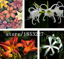 Wholesale Hot Selling Rare Barbados Lily seeds Potted Hippeastrum Bulbs it is not the seed Bonsai Plant Flower