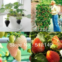 4 kinds Strawberry Seeds, 1 kind 100 pcs, total 400 pcs, white black red climbing strawberry Seeds.