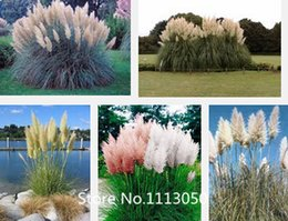 Wholesale Promotion New Rare Purple Pampas Grass Seeds Ornamental Plant Flowers Cortaderia Selloana Grass Seeds Pieces Novel See