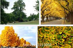 Wholesale Promotion New Home Garden Plant Seeds Ginkgo seeds biloba Maidenhair Tree Seeds Fall Colors Seeds Novel See