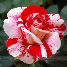 Wholesale Hot Whole Sale Red and Pink Rose Seeds Cheap Rose Seeds Charming Flowers Pieces Per Parcel Rose Seeds
