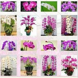 Wholesale mixed color seeds bag Butterfly orchid seeds balcony gardening kinds of butterflies when flowering potted orchids Seed