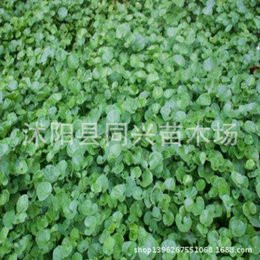 Wholesale Www fabiao net copper grass lawn seed alias landscape evergreen grass coverage