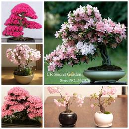 Wholesale YY FARM high sprout rate pc pink Japanese Sakura Seeds Serrulata Cherry Blossoms living room bonsai tree Sakura flower seeds