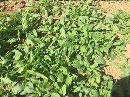 DIY Garden Asian NON GMO green Garden Rocket,Rocketsalad Ropuette Eruca sativ Mill seeds 10g seeds