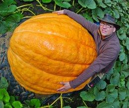 Wholesale 1 Original Pack seeds pack Atlantic Giant Pumpkin Seeds NF179