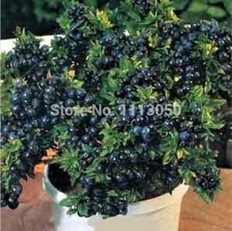 Wholesale 100seeds pack Blueberry Seeds BONSAI series tea Heirloom Blue Berry seeds Edible fruit Seeds indoor outdoor
