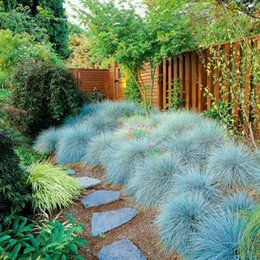 Wholesale 400 Blue Fescue Grass Seeds Festuca glauca perennial hardy ornamental grass SS110