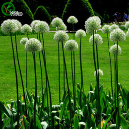 Wholesale Green Giant Allium seeds Bonsai Seeds Garden Plants Flower Seeds Annual Herb Particles d010