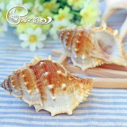Wholesale seckill natural frog snail as long as yuan cm platform conch decoration collection Aquarium