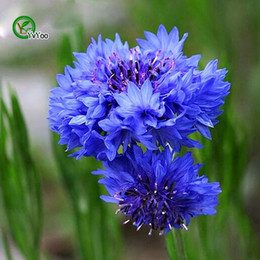 Blue Cornflower Seeds Bonsai Flower for Indoor Rooms Seed 50 Particles   lot T018