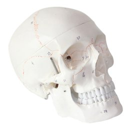 Wholesale Medical Anatomical Human Skull Model High Quality Classic part Life Size