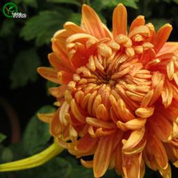 Chrysanthemum Seeds Flower Seeds Indoor Bonsai plant 50 particles   lot F022