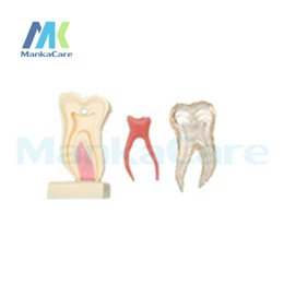 Wholesale Manka Care Times Anatomic Profile Model of Mandibular Molar Made from high quality resin silicone rubber and crystal