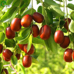 Wild jujube Seeds New Arrival Bonsai Organic Fruit Seeds for Home Garden 30 particles   bag V015