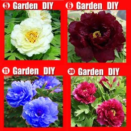 Wholesale - 80 seeds China's Peony Seed Paeonia suffruticosa Tree 4 kinds white flower etc. Separate,you will get 4 bags Free shipping