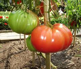 Rare Red Tomato Russian Hero Seeds Organic Vegetable Heirloom Seed 100pcs S049