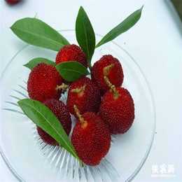10 pieces bag red bayberry Seeds High survival Rate bonsai Fruit Seeds For Home Gatden balcony Bonsai A067