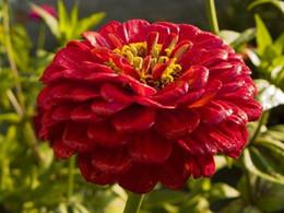 NEW! 35+seeds pack GIANT RED ZINNIA FLOWER SEEDS   LONG LASTIING CUT FLOWERS  DEER RESIST