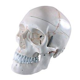 Wholesale Life Size Human skull anatomy skeleton anatomical sitting posture model esqueleto humano anatomia with denture teeth