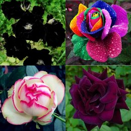 2016 Free-Shipping Colourful Rainbow Rose Seeds Purple Red Black Pink Yellow Rose Seeds Plant Garden Beautiful Flower seeds HY1157