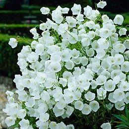 Wholesale 3 different colors available Non Hybrid Bell flower Seeds Flower Large Blooms in Magnificent Color Combination