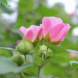 Beautiful Hibiscus flowers Seeds Flower Seeds Indoor Bonsai plant 30 particles   lot N013