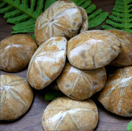 Wholesale 100g Natural JURASSIC Madagascar SEA BISCUIT URCHIN FOSSIL sand dollar Star Fish