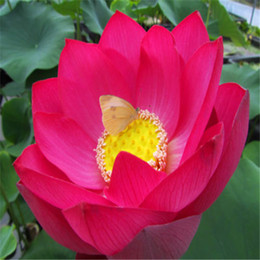 Flower seeds RED LOTUS SEEDS Nymphaea Asian Water Lily Pad Flower Pond Seeds 10pcs F125