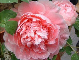 """Big Rare Blooming Bai jiao"" flowers Peony roses tree seeds, seed, professional, 5 package Peony garden 3 bags per lot"
