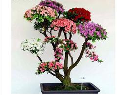 Free shipping 10 PCS pink cherry tree seeds, interesting plants in Japan Sakura blooms 5 bags