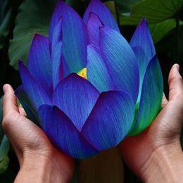 Bowl lotus water lily flower  Bonsai Lotus seeds garden decoration plant 10pcs F129