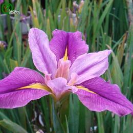 Mult color optional Iris orchid Seeds Flower Seeds Indoor Bonsai plant 30 particles   lot F017