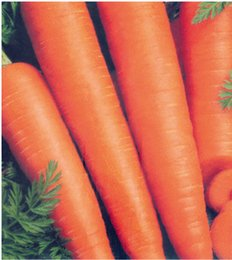Suntoday Home &Garden Asian vegetable resistant to heat and cold carrot seeds