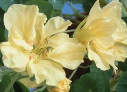 Buena pesca en venta-300pcs un color amarillo claro del juego que pesca la semilla china del globeflower DIAMANTE DIY DEL JUEGO DEL HOGAR BUEN REGALO PARA SU AMIGO Por favor acaricie