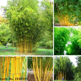 Wholesale Bamboo seeds Phyllostachys aureosulcata Home Garden Plant seeds AA Phyllostachys aureosulcata Home Garden Plant seeds AA