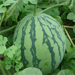 Wholesale Sale piece Colors watermelon seeds New Garden Flowers Four Season Sowing World Rare Fruit Seeds For Garden