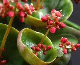 Wholesale 100pcs a Set Crassula umbella Wine Cup Flower Seed rare Home garden Diy Very Reasonable Choice For You Good Chance