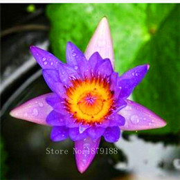 Wholesale ACRED BLUE LOTUS SEEDS Nymphaea Caerulea WATER LILY AQUATIC PLANT SEEDS NEW garden decoration plant F131