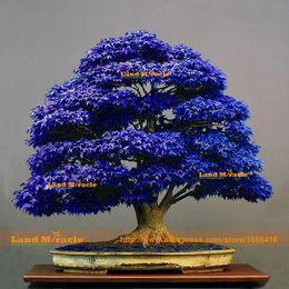 Wholesale 10 pack bonsai blue maple tree seeds Bonsai tree seeds rare japanese sky blue maple seed Balcony plants for home garden