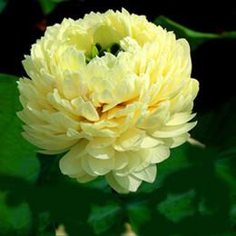 Bonsai Lotus water lily flower Bowl-Pond Lotus seeds Light Golden Lotus garden decoration plant 10pcs F136
