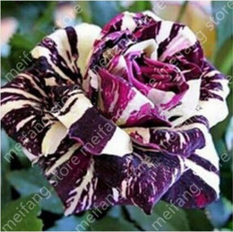 Wholesale 100pic black Dragon Rose Black charm to attract your eye Flower Seeds Exotic flower garden decoration