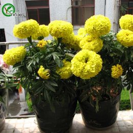 Yellow Marigold Seeds Promotion Balcony Bonsai Flower Seeds Flowering Plants 50 pcs T013