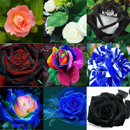 Wholesale New Varieties Colors Rose Rose Flower Seed Color seeds per package flower seeds home