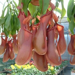 Wholesale 200pcs Freshly Picked mosquito Nepenthes seeds potted flower seeds fun novelty patio balcony Carnivorous Plants