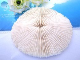 Wholesale By shipping over yuan The natural conch shells of sea urchin sea seafood mushroom cm