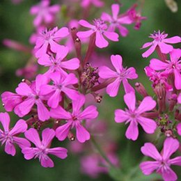 Wholesale 50 Garden Plant Catchfly Silene Armeria Flower Seeds